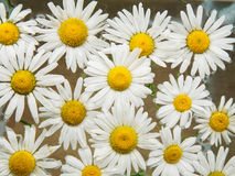 Field of daisies floating in the water. Chamomile with drops of water. Flowers with white petals and yellow pistils Royalty Free Stock Photos