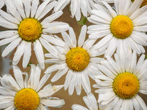 Field of daisies floating in the water. Chamomile, top view with small depth of field. Flowers with white petals and Royalty Free Stock Images