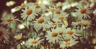 A field with daisies, flowers in the shade Royalty Free Stock Photos