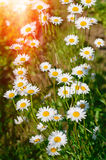 Field of daisies flowers Stock Image
