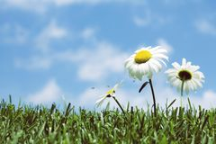 Field of daisies blowing in a gentle breeze in spring. Field of daisies and in grass blowing in a gentle breeze against a blue sky Royalty Free Stock Photography