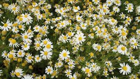 Field of daisies stock video
