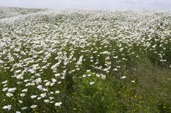 Field with daisies. Stock Images