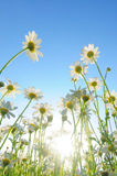 Field of daisies from low perspective Stock Photography