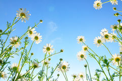 Field of daisies from low perspective Stock Photos