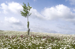 Field with daisies and lychnis . Royalty Free Stock Image