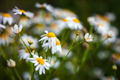 Field of daisies on meadow Stock Images