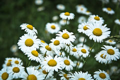 Field Of Daisies. Multiple Daisies Together In A Field Royalty Free Stock Images