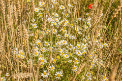 Field daisies. NAmong the wheat ears flowers blooming daisies Royalty Free Stock Photography
