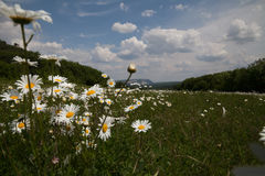 Field with daisies royalty free stock photos
