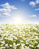 Field of daisies and perfect sky Royalty Free Stock Photos