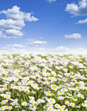 Field of daisies and perfect sky Royalty Free Stock Image