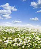 Field of daisies and perfect sky Royalty Free Stock Photography