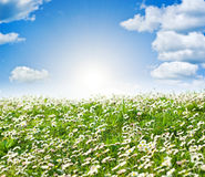 Field of daisies and perfect sky Royalty Free Stock Photo