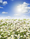 Field of daisies and perfect sky Royalty Free Stock Images
