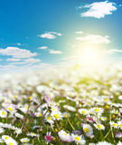 Field of daisies and perfect sky Stock Photos