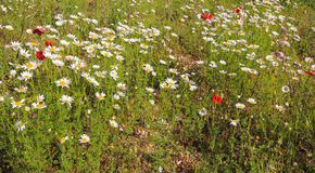 Field of daisies and poppies Stock Photos