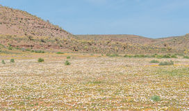 Field of daisies and the Quiver Tree Forest at Gannabos Royalty Free Stock Photos