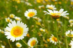Field with daisies in spring. Field with green grass and white daisies in spring Royalty Free Stock Photography