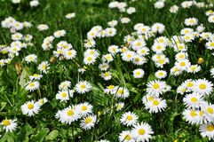 Field of Daisies. Spring field with daisies close up royalty free stock photography