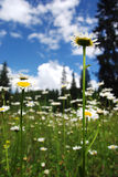 Field of daisies in spring Royalty Free Stock Image
