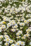 Field of daisies Stock Photos