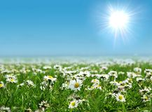 Field of daisies with sun on the sky stock photo