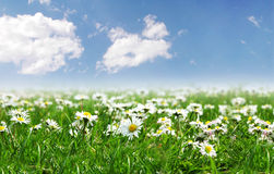 Field of daisies with  sun on the sky Royalty Free Stock Images