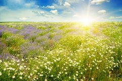 Field with daisies and sun on sky, focus on foreground Royalty Free Stock Image
