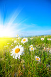 Field of daisies and sunbeams. Royalty Free Stock Photo