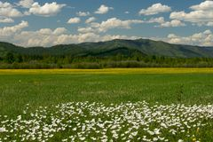 The field of daisies on a Sunny day. Stock Photography