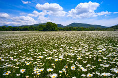 The field of daisies on a Sunny day. Stock Image