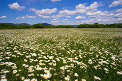 The field of daisies on a Sunny day. Royalty Free Stock Photos