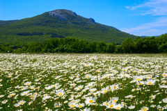 The field of daisies on a Sunny day. Royalty Free Stock Photography