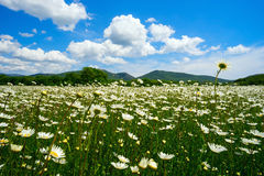 The field of daisies on a Sunny day. Royalty Free Stock Photo