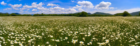 The field of daisies on a Sunny day. Panorama . Stock Image