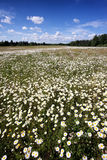 A field of daisies on a sunny summer day Stock Image