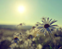 Field of daisies Royalty Free Stock Photos