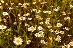 Field of daisies at sunset. Some small daisies in a field at sunset Royalty Free Stock Images