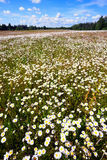 Field of daisies to the horizon with a blue sky Royalty Free Stock Image
