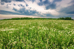 Field with daisies Royalty Free Stock Image