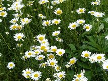 A field of Daisies in upstate New York. royalty free stock photo