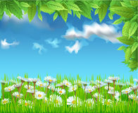 Field of daisies. Vector illustration of a field of daisies Stock Photos