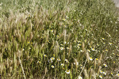 Field with daisies Royalty Free Stock Photography