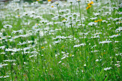 A field of daisies Stock Photography