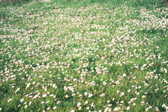 Field of the daisies. Wide view of daisies field Royalty Free Stock Photo