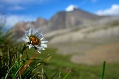 Field of daisies and wild flowers with Tien Shan mountains, Kyrgyzstan Royalty Free Stock Images
