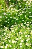 Field of daisy. A green field of daisy Royalty Free Stock Photography