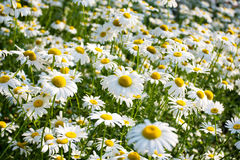 Field of daisy background royalty free stock images