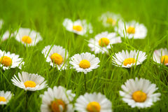 Field of daisy Royalty Free Stock Image